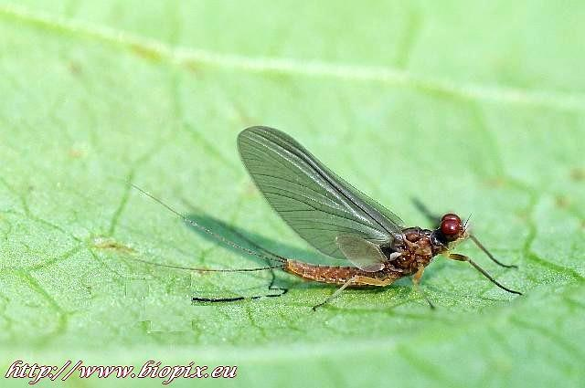 Avozetto Les vraies mouches Ephemerelle Ignita Subimago