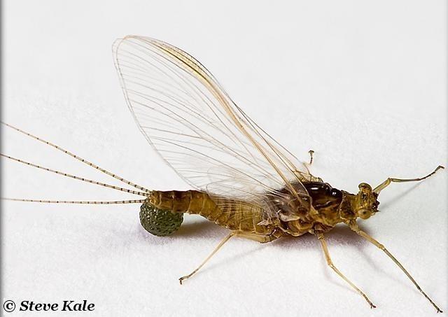 Avozetto Les vraies mouches les éphéméroptères Les éphémérellidés