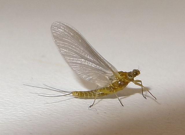 Avozetto entomologie les éphéméroptères bwo ephemerella ignita