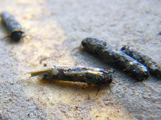 Avozetto Les vraies mouches Les trichoptères